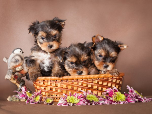 clearwater, kennels, cushing, mn, minnesota, yorkshire, yorkie, pups